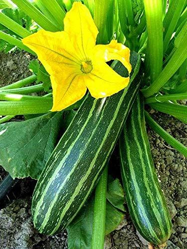 thronesfarm Cocozelle Zucchini Summer Squash 2000 ct or 1/2 LB, Cocozella di Napoli